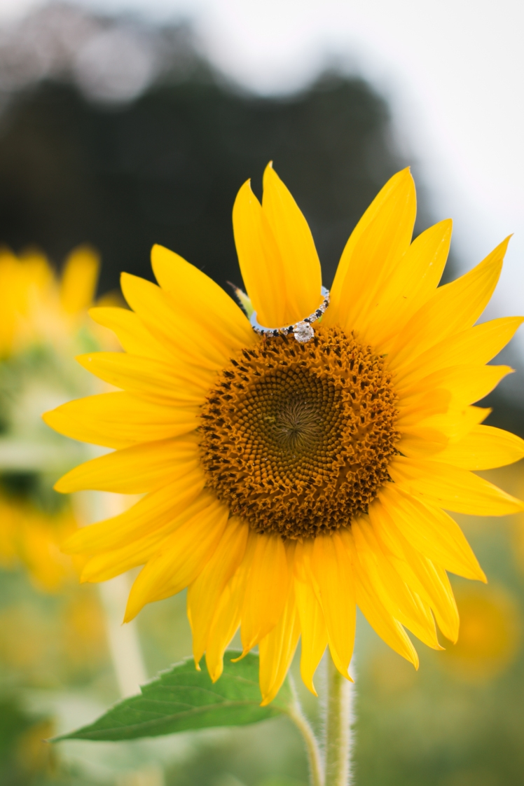 170715-Sunflower-Web-106
